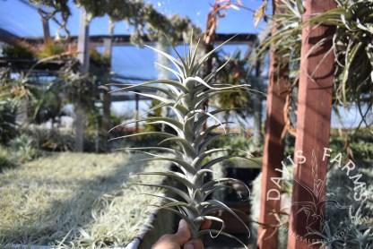 Tillandsia latifolia vivipara