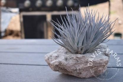 Tillandsia Houston in small pumice rock