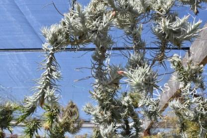 Tillandsia stellifera, clumps