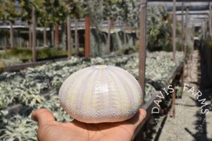Purple Sea Urchin Shell, large