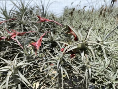 Larifolia vivipara type 1 bloom