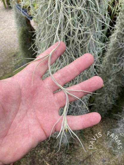 Tillandsia usneoides super thick form