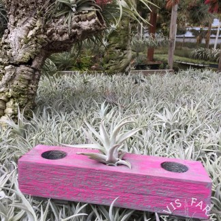 Tillandsia handcrafted wooden Magenta 3-hole planter box display