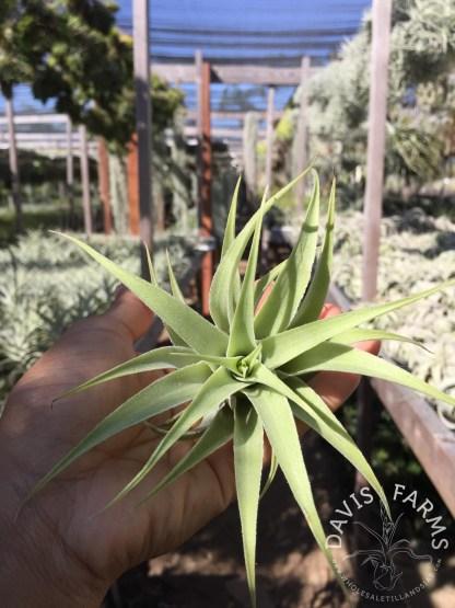 Tillandsia cacticola alba