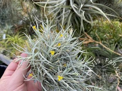 Tillandsia crocata x bandensis