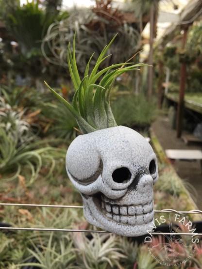 Halloween black and white skull matte