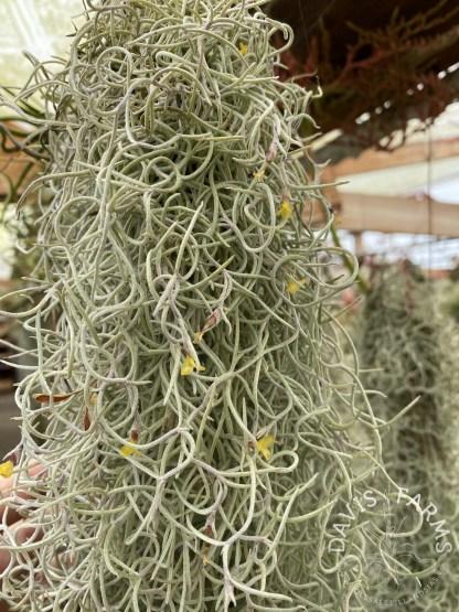 Tillandsia usneoides curly orange flower form