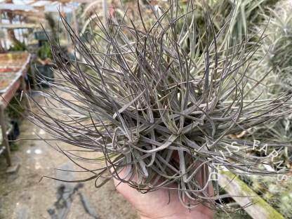 Tillandsia schiedeana major clump