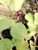 Purple Flowering Beans