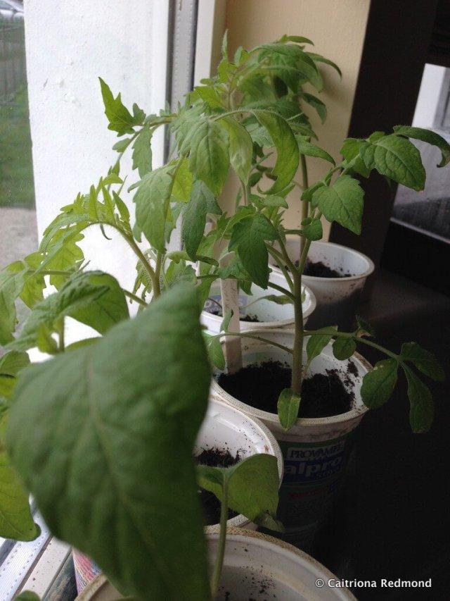 Tomatoes On The Windowsill