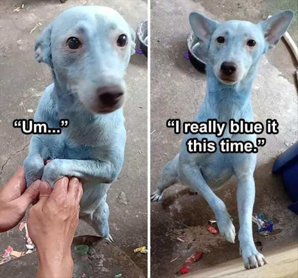 Medium dog that has gotten into something that turned it's fur blue.