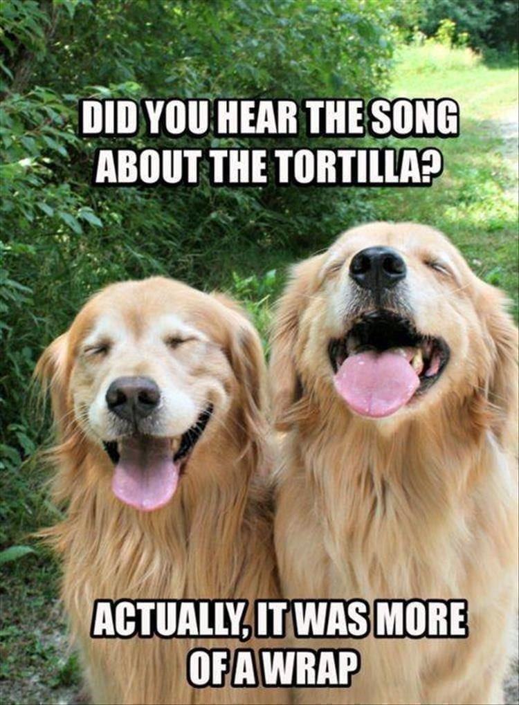 Two golden retrievers laughing.