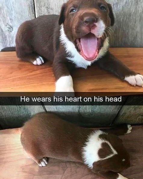 Little puppy that has a heart shape in it's fur on top of it's head.