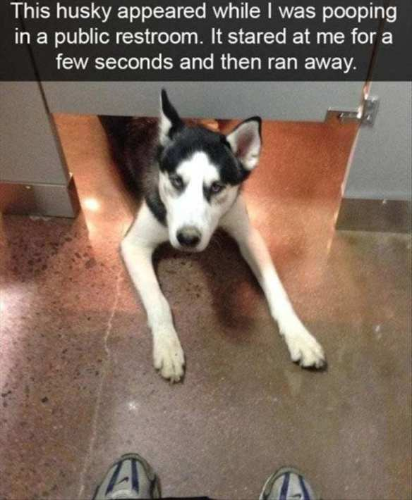 Husky looking under bathroom stall at a human.