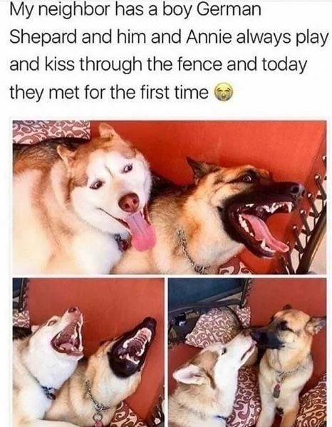 Two Shepards laughing and kissing each other.