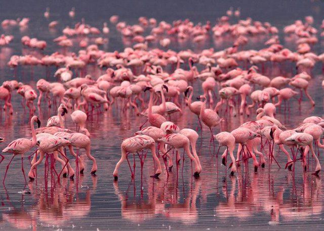 Flamingos-Kenya