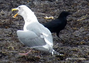 Seagull and Crow
