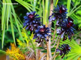 Purple Aeonium