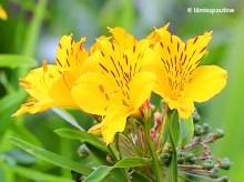 Yellow Alstromeria