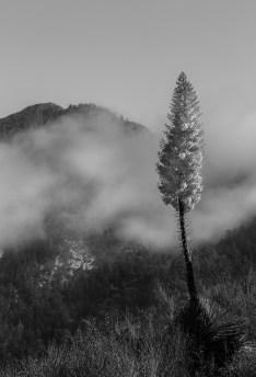 Mountain Cloud Yucca