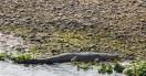 Krokodyl Gangesowy