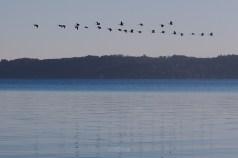 lake_michigan_ducks_migrate