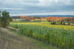 Autumn Vineyard Hillside