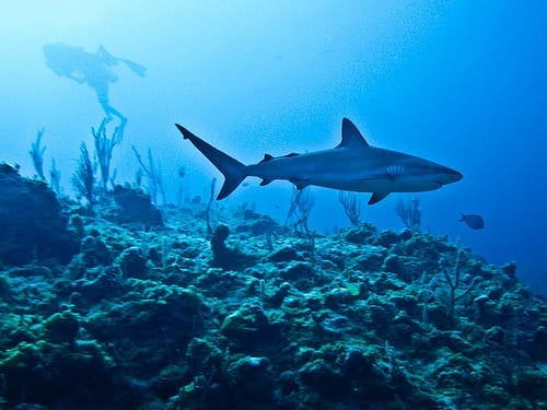 Scuba Diving Myths - You Will Be Eaten By a Shark
