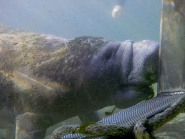 Sneaky Manatees - Swimming with Manatees