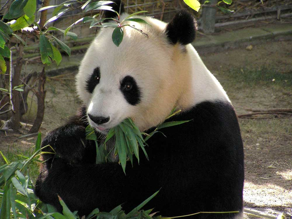 A Panda at the Beijing Zoo Chewing on Bamboo - Where to See Giant Pandas in Beijing