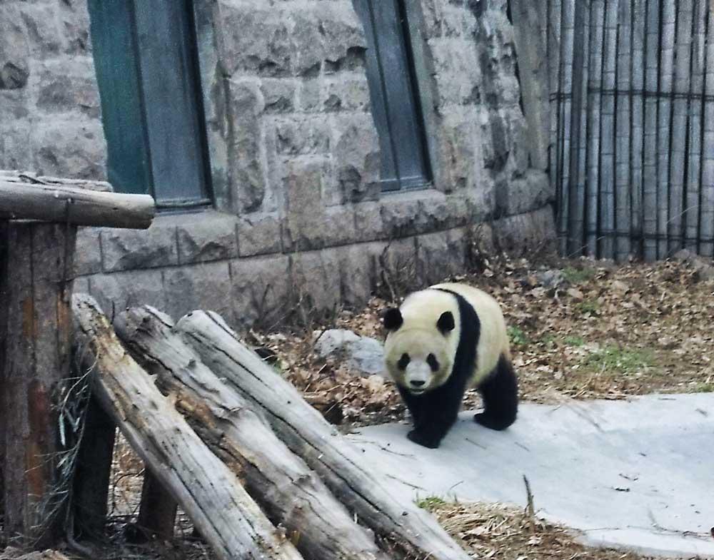 A Giant Panda Walking Around its Enclosure at the Beijing Zoo - Visiting Giant Pandas in Beijing