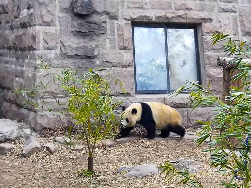 How to Visit the Giant Pandas When You Are Only Going to Beijing A Giant Panda Walking Between Bamboo at its Enclosure at the Beijing Zoo    How to