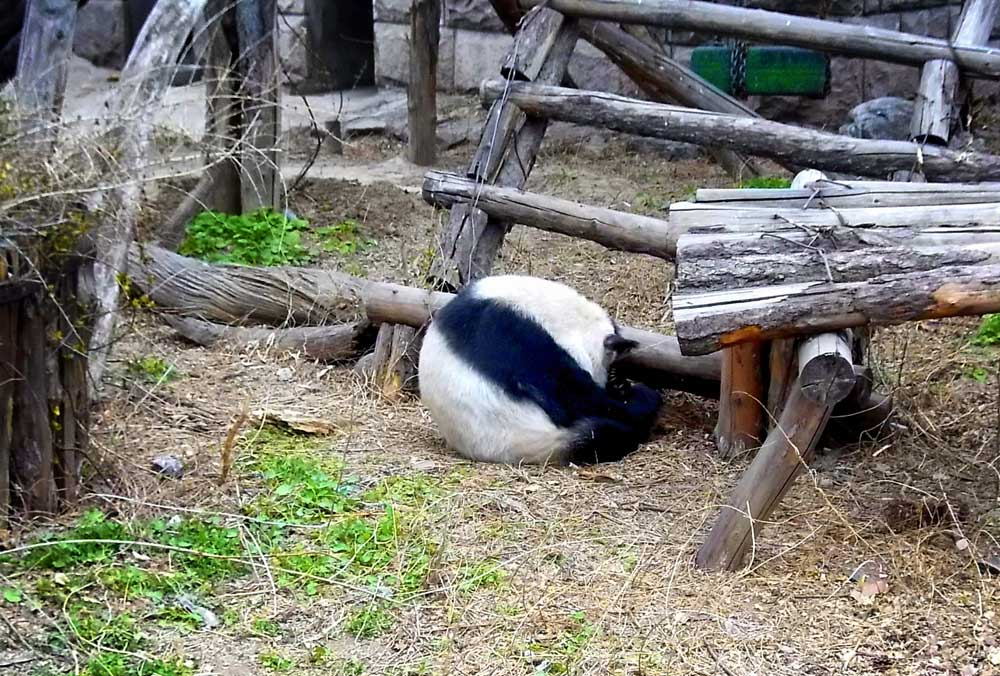 A Giant Panda Rolling Into a Ball at the Beijing Zoo - How to Visit Giant Pandas in Beijing