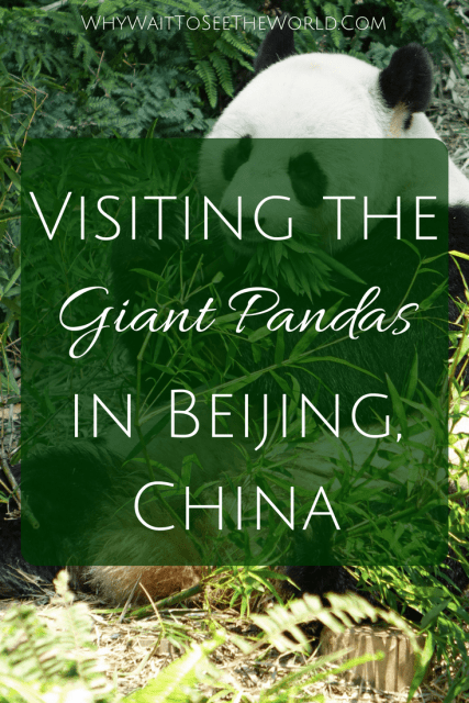 Visiting the Giant Pandas in Beijing, China