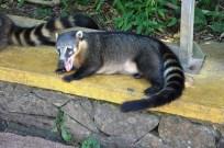 racoon Iguazu