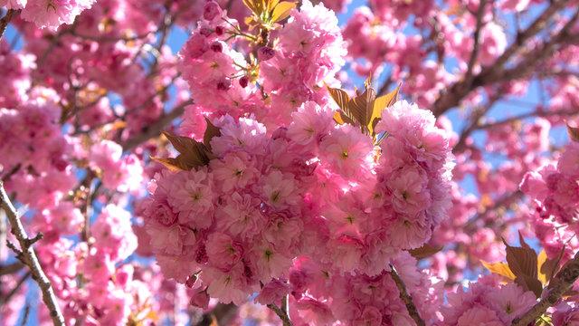 Mengenal Bunga Sakura, Tumbuhan Paling Ikonik saat Musim Semi di Jepang 6