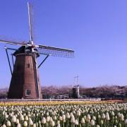 Festival Sakura Tulip Festa 2021 Kembali Hadir dengan Lebih dari 300.000 Bunga Tulip yang Bermekaran di Kota Sakura 8