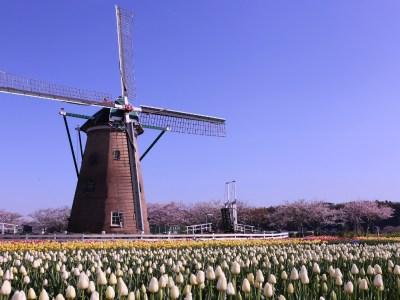 Festival Sakura Tulip Festa 2021 Kembali Hadir dengan Lebih dari 300.000 Bunga Tulip yang Bermekaran di Kota Sakura 20