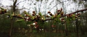 Tak met appelbloesem in knop - foto Loes
