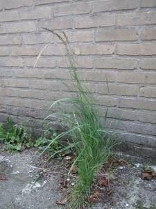 Gras groeit waar het kan, ook tussen de tegels