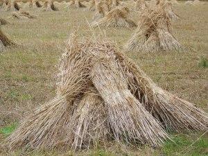 Wheat_sheaves_near_King's_Somborne_-_geograph.org.uk_-_889992