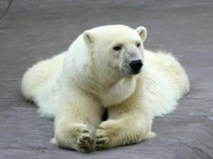 polar-bear-400