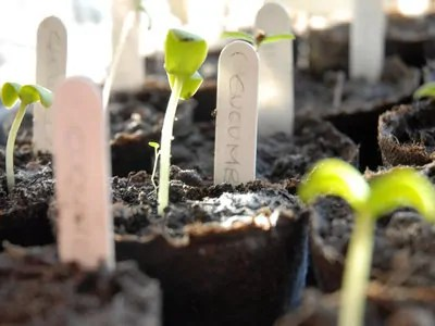 seedlings sprouting ready for spring