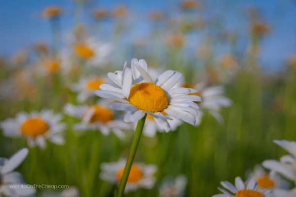 Beautiful daisies blooming at Schrumpf Hill Scenic Overlook