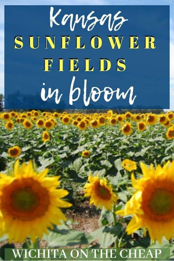 Kansas Sunflower Fields in Bloom   Check out these beautiful Kansas sunflower fields in bloom! Wichita, KS and surrounding areas have gorgeous blooming sunflower fields for you to enjoy.