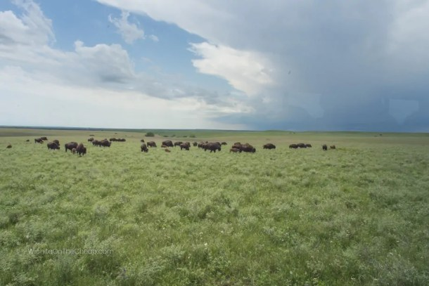 Bison herd grazing against stunning backdrop of green hills, blue sky, white clouds