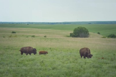 Two full-grown bison and a calf grazing in the Flint Hills at the Tallgrass Prairie National Park in Kansas