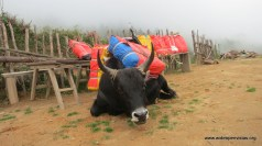 We picked up a Yak in the afternoon to help carry tarps