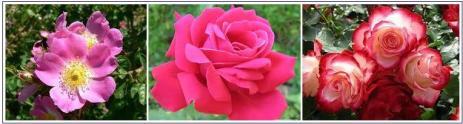 Andrea Korte.Róże