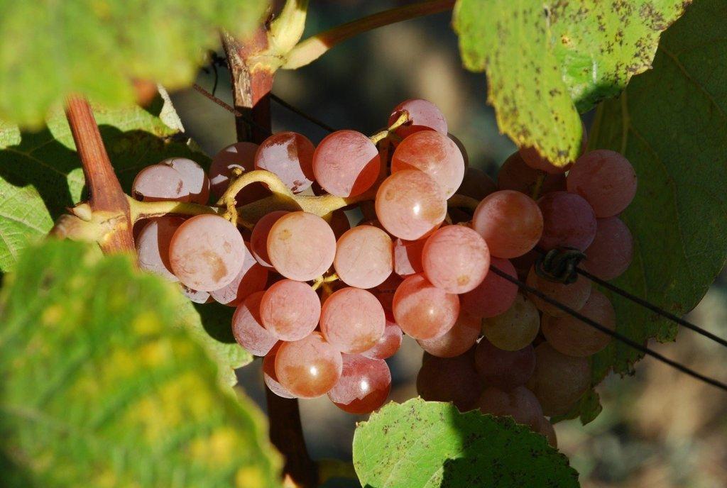 Kiść winogron